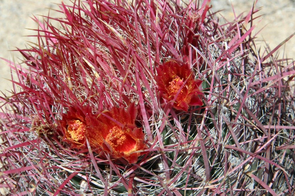 Ferocactus gracilis ssp. gracilis at Cataviña, Baja California. CSSA convention tour, 2007. Photo