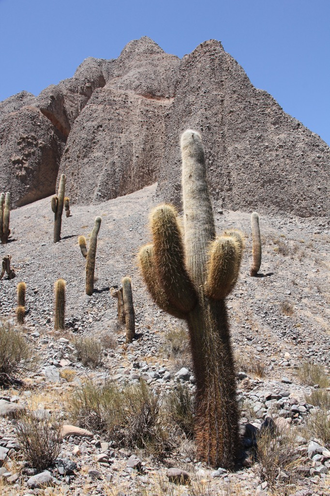 The high elevation form of Echinopsis atacamensis ssp. pasacana at 9,600 ft in the Argentine Andes. CSSA Tour 2012 – Northwest Argentina. Photo D. Mahr.