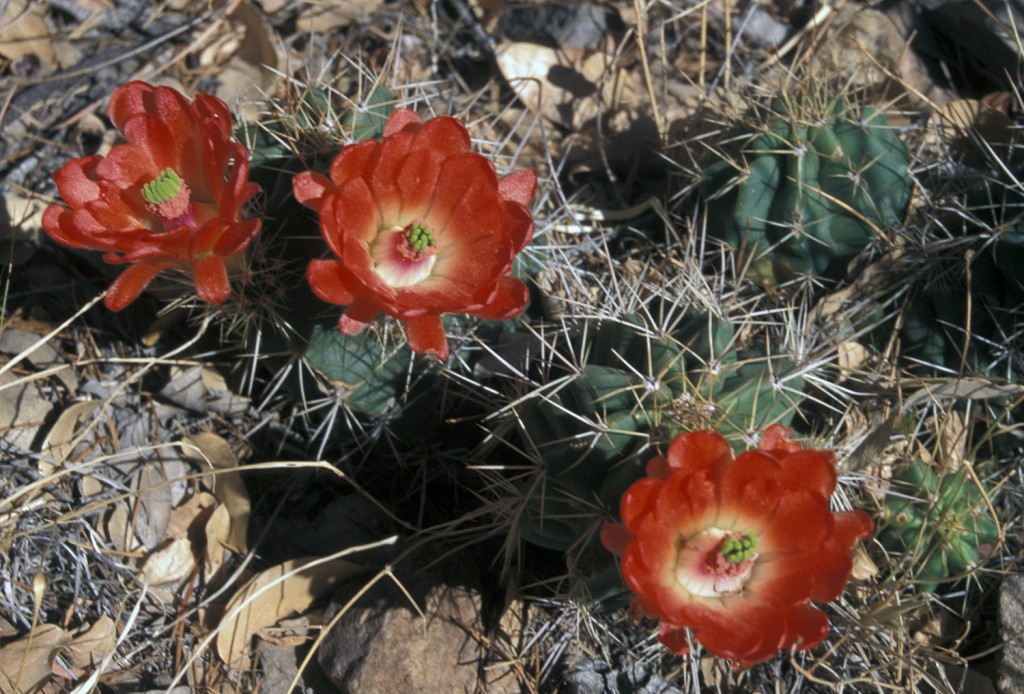 Echinocereus ×roetteri (=coccineus, guerneyi) along the Emory Peak Trail in the Chisos Mountains of southern Texas. CSSA Tour 2000 – Big Bend. Photo D. Mahr.