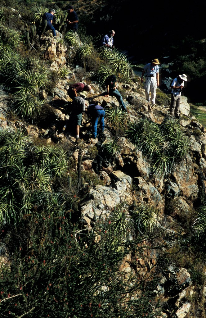 Although most plants are relatively accessible by moderately fit people, some are in steep and rocky areas, as here in Chile in 2004. Participants need to acknowledge their own  limitations when deciding whether to access such spots. Photo D. Mahr.